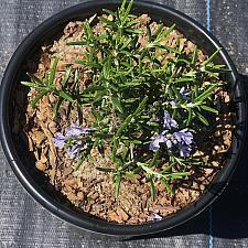 Rosmarinus officinalis 'Irene' - Rosemary