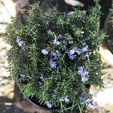 Rosmarinus officinalis 'Bonnie Jean' - Rosemary