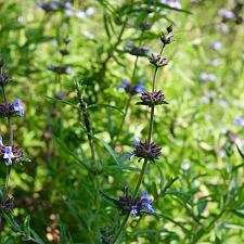 Salvia brandegeei 'Pacific Blue' - Brandegee's sage