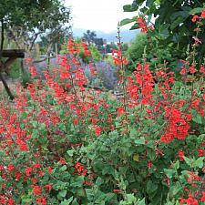 Salvia darcyi - No common name