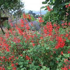 Salvia darcyi - No common name