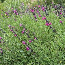 Salvia muelleri - Royal purple sage