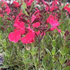 Salvia greggii 'Mirage™ Hot Pink' - Sage