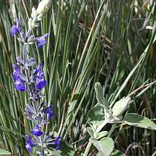 Salvia chamaedryoides 'Marine Blue' - Marine Blue sage