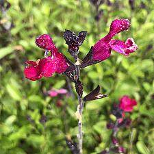 Salvia greggii 'Cranberry Crush' - Sage