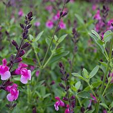 Salvia greggii 'Icing Sugar' - Icing Sugar sage