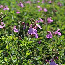 Salvia microphylla x greggii 'Glitter' - Heatwave sage