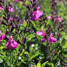 Salvia microphylla x greggii 'Sparkle' - Heatwave sage