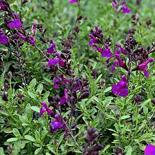 Salvia greggii 'Mirage™ Deep Purple' - Sage