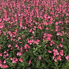 Salvia microphylla 'Syracuse' - Syracuse sage