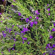 Salvia coahuilensis 'Purple Ginny' - Coahuila sage