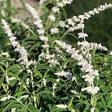 Salvia leucantha 'White Mischief' - Mexican bush sage