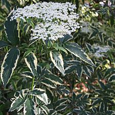 Sambucus nigra 'Aureomarginata' - Elderberry