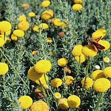 Santolina chamaecyparissus 'Gray Tuft' - Lavender cotton