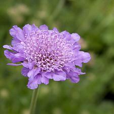 Scabiosa columbaria 'Butterfly Blue' - Pincushion flower