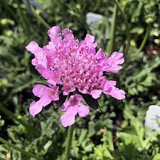 Scabiosa columbaria 'Flutter Rose Pink' - Pincushion Flower