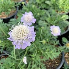Scabiosa columbaria 'Giga™ Silver' - Pincushion flower