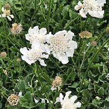 Scabiosa incisa 'Kudo White' - Pincushion flower