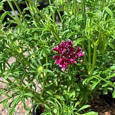Scabiosa atropurpurea 'Royal Ruby' - Pincushion flower