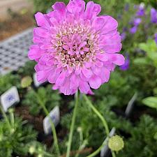 Scabiosa incisa 'Kudo Pink' - Pincushion Flower
