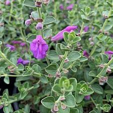 Scutellaria 'Violet Cloud' - Skullcap helmet flower