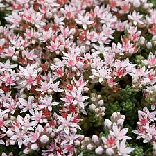 Sedum anglicum 'Hartland' - English Stonecrop