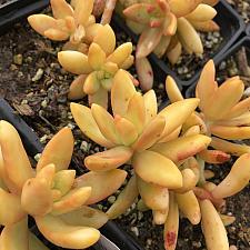 Sedum 'Coppertone' - Stonecrop