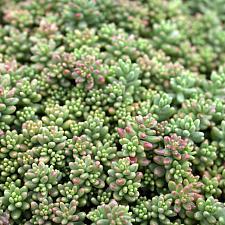 Sedum album 'Coral Carpet' - White stonecrop