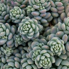 Sedum dasyphyllum 'Major' - Stonecrop