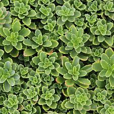 Sedum reflexum 'Spring Green' - Stonecrop