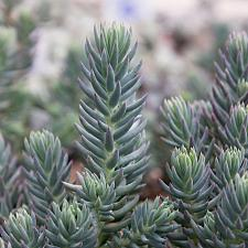 Sedum rupestre 'Blue Spruce' - Stonecrop