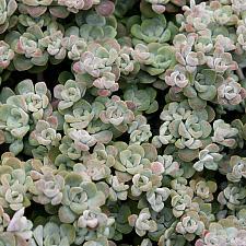 Sedum spathulifolium 'Cape Blanco' - Stonecrop