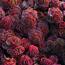 Sedum spurium 'Dragon's Blood' - Stonecrop
