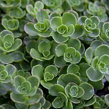 Sedum spurium 'John Creech' - Stonecrop