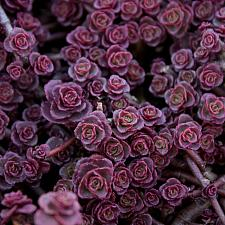 Sedum spurium 'Red Carpet' - Stonecrop