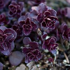 Sedum spurium 'Voodoo' - Caucasian stonecrop