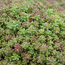 Sedum stefco - Stonecrop