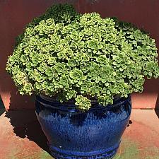 Sedum spathulifolium 'Tomales Bay' - Stonecrop