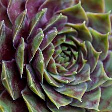 Sempervivum 'Commander Hay' - Hens and chicks