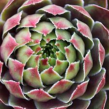 Sempervivum 'Kalinda' - Hens and chicks
