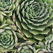 Sempervivum 'Silverine' - Hens & Chicks