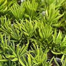 Senecio barbertonicus - Succulent bush senecio