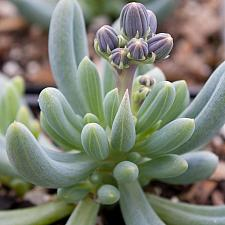 Senecio serpens - Blue-chalksticks