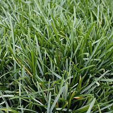 Sesleria caerulea - Blue moor grass