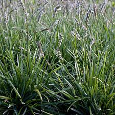 Sesleria 'Greenlee's Hybrid' - Greenlee's moor grass