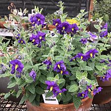 Solanum xanti 'Mountain Pride' - Purple Nightshade