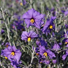 Solanum umbelliferum var. incanum 'Alamo Pintado' - Nightshade