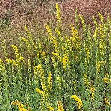 Solidago velutina ssp. californica - California Goldenrod