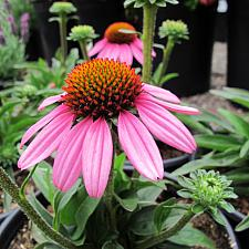 Echinacea 'SunSeekers Pink' - Coneflower