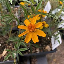 Tagetes lemmonii 'Compacta' - Mexican bush marigold